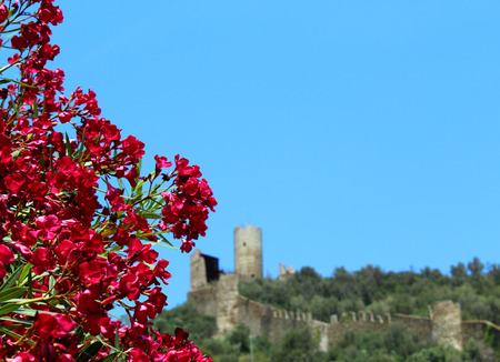 Rose-bay tree and castle on the background (Liguria)