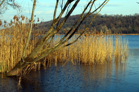 Rushes and bare tree on a lake
