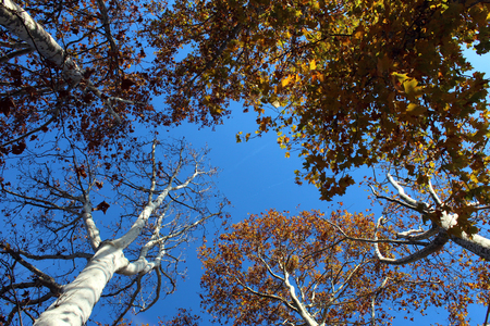 Plane trees branches seen from below against blue sky in autumn
