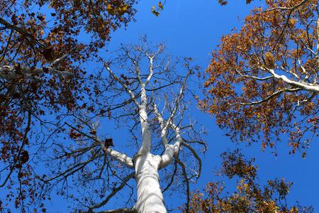 Plane trees (platanus) seen from below in autumn