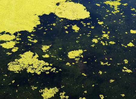 Green algae slime on a water surface