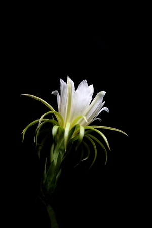 Pitaya fleur ou fleur de fruit du dragon en fond noir