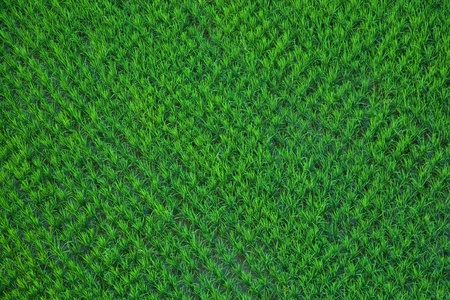 Green paddy rice in field Taken from a hot air balloon.  Stock Photo