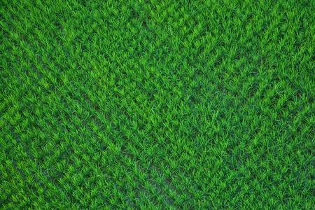 Vert riz paddy dans le domaine Tir� d'un ballon � air chaud. Banque d'images