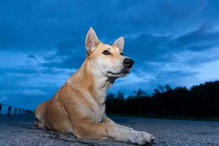 dog is sitting in twilight blue sky  Stock Photo