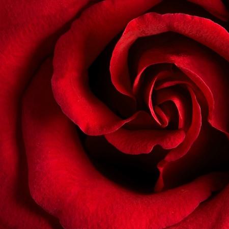 Macro image de dark rose rouge Banque d'images