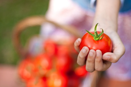 Child hand holding tomato with a basket of harvested tomatoes in the garden Stock Photo