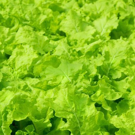 Fresh green Lettuce salad background photo