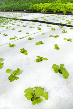 Organic hydroponic vegetable in a row
