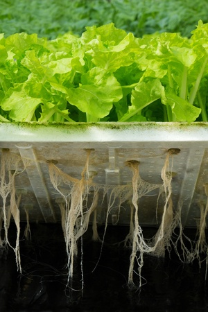 Hydroponic plantation show Lettuce root in water Stock Photo