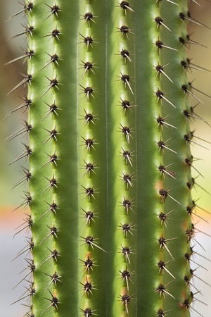 Cactus texture with green spiny cactus