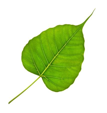 Veine vert feuille bodhi sur fond blanc Banque d'images