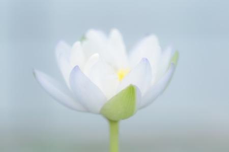 Soft White Lotus