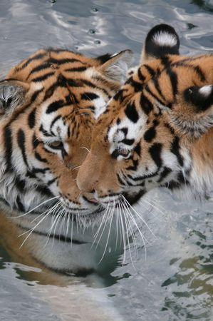 tigress: Tiger with tigress