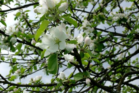The branch of blossoming cherry.