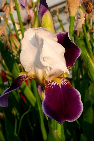 Flower iris.  Stock Photo