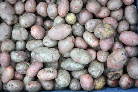unwashed: a lot of dirty unwashed potatoes unpeeled