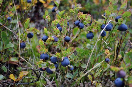 bush blueberries