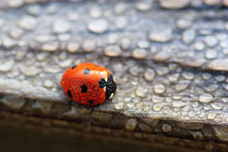 Dew Covered Ladybug waits for the Sun to Dry Out Stock Photo