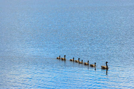 Goose, Gander and Goslings Swimming in Single File photo