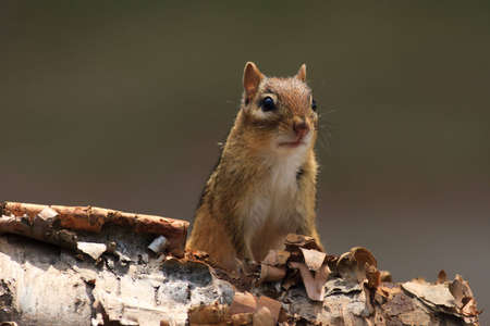 face in tree bark: Alert Chipmunk on Birch Bark