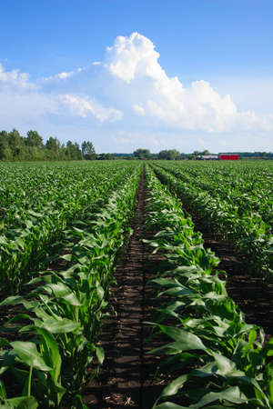 Rows of Corn under a Cloudy Blue Sky Stock Photo - 8127140