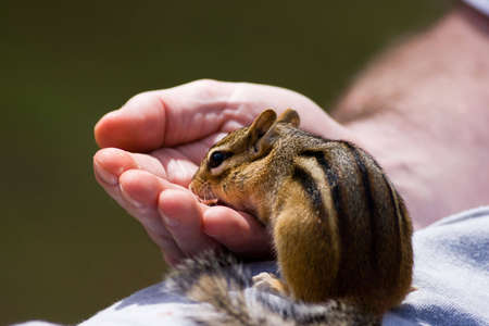 Chipmunk Eats out of Hand with No Fear photo