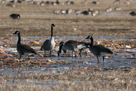 Canada Geese feeding during the Fall Migration Stock Photo - 9233700