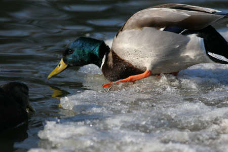 Drake Mallard Duck tentatively enters the water photo