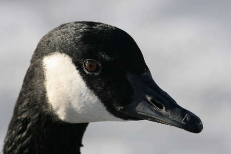 Close-Up Head Shot of a Canada Goose Stock Photo - 9233679