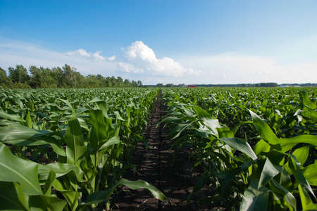Rows of Corn under a Cloudy Blue Sky photo