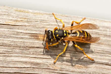 avispa: Avispa chaqueta amarilla masticables madera en pulpa para Construir Nido Foto de archivo