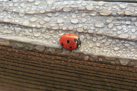 Dew Covered Ladybug on Wood waits for the Sun to Dry Out photo