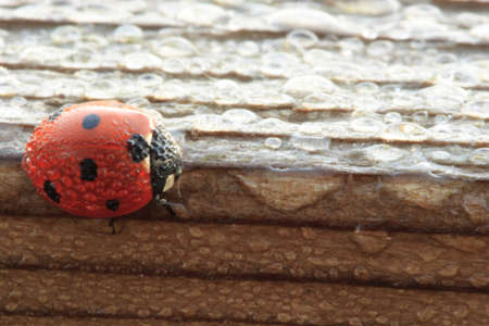 Dew Covered Ladybug on Wood waits for the Sun to Dry Out