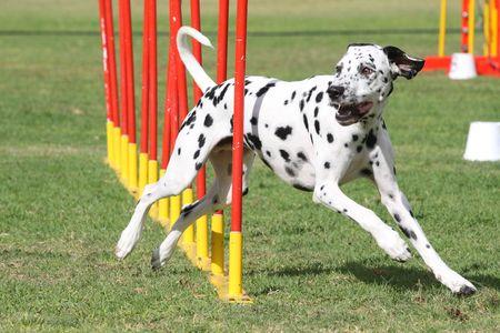 dog agility: Dog Agility 6