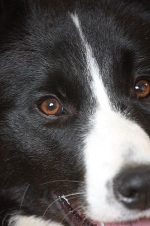 Chakotay the border collie