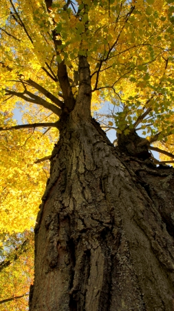 A view up the trunk at the fall leaves at the top of a tree.