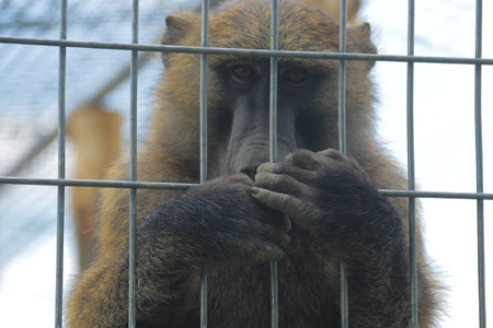 A sad baboon covering his mouth in a cage photo