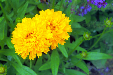 Two yellow flowers in full bloom in a garden photo