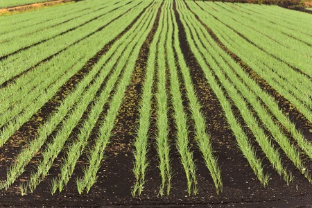 Farm crops in Rows for Background photo