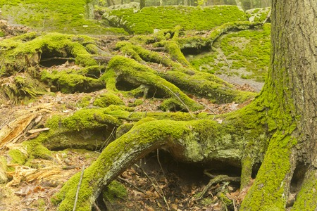 deep roots: Overgrown gnarled tree roots covered in moss deep in the forest
