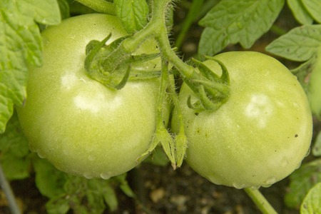 unripened: Two juicy unripened tomatoes growing in the garden Stock Photo
