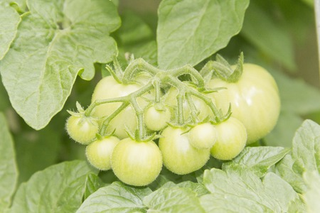 unripened: Unripened tomatoes growing on a vine