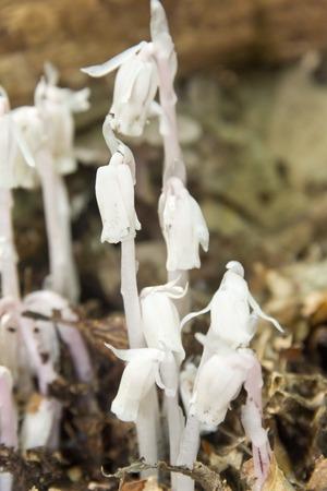 bell shaped: Strange fungus like white woodland flowers called monotropa uniflora