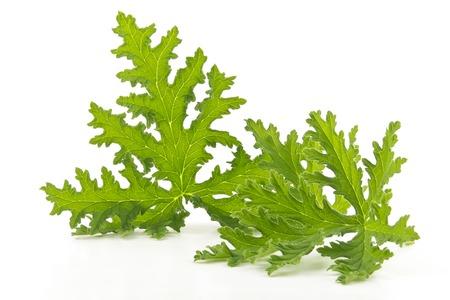 medicinal plants: Todo repelente de citronela natural de planta del mosquito hojas en blanco