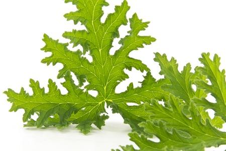 repellant: All natural citronella plant mosquito repellant leaves on white