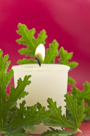 repellant: Citronella plant leaves with a citronella candle, no mosquitos