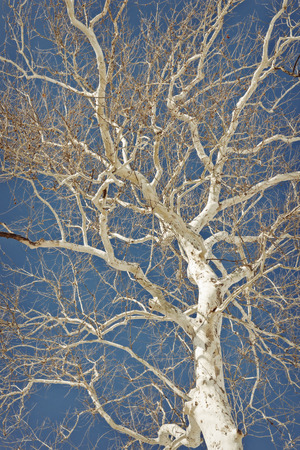 Amazing American sycamore tree against a blue sky in this winter nature shot