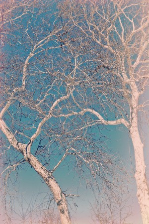 pealing: Amazing American sycamore tree against a blue sky in this winter nature shot