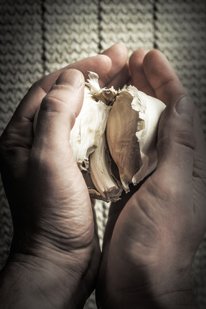 clasped: Extra large elephant garlic clasped in hands with moody lighting for farmers background photo